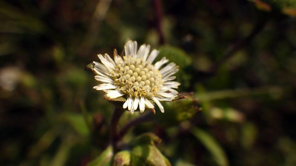 タカサブロウの花2