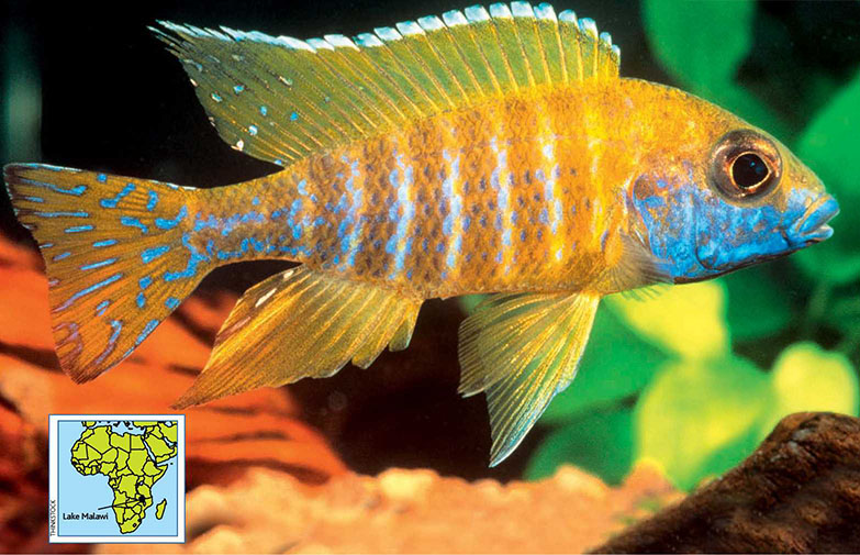10 best cichlid fish for your aquarium doknowit for Best freshwater aquarium fish combination