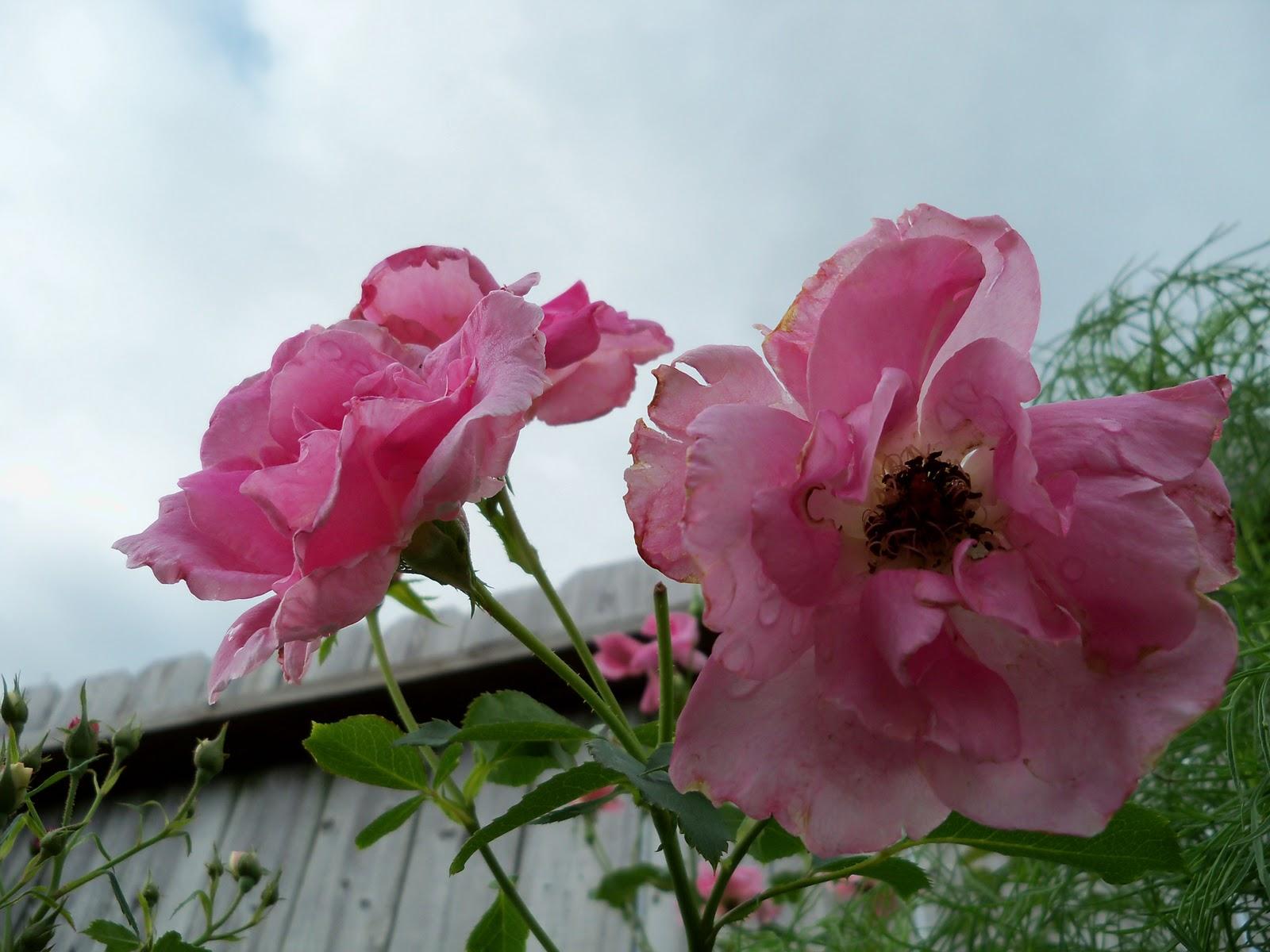 Gardening 2010, Part Three - 101_3552.JPG