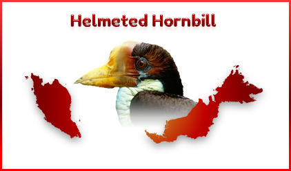 Helmeted Hornbill birds are critically endangered in Malaysia.
