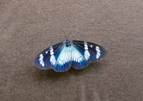 Arctiinae : Pericopini : Hypocrita bicolora (SULZER, 1776). Environs de Rurrenabaque, 24 octobre 2012. Photo : C. Basset