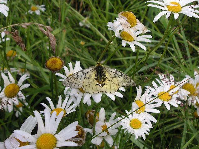 Parnassius eversmanni MÉNÉTRIÈS, 1855, mâle. 10 km au nord de Krasnorechenskij près de Dal'negorsk, 27 juillet 2010. Photo : J. Michel