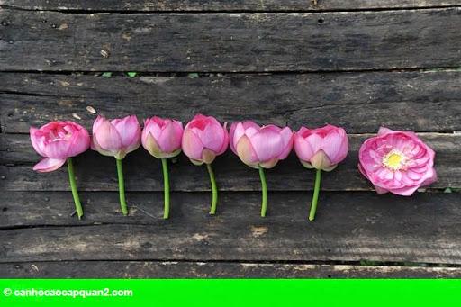 Hình 7: Hà Nội rực rỡ mùa hoa sen