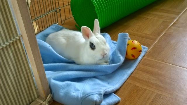 Meiko, lapin blanc à l'oeil au beurre noir!-[adopté] 308479WP20140829175114ProR