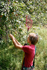 Apple Picking August 16