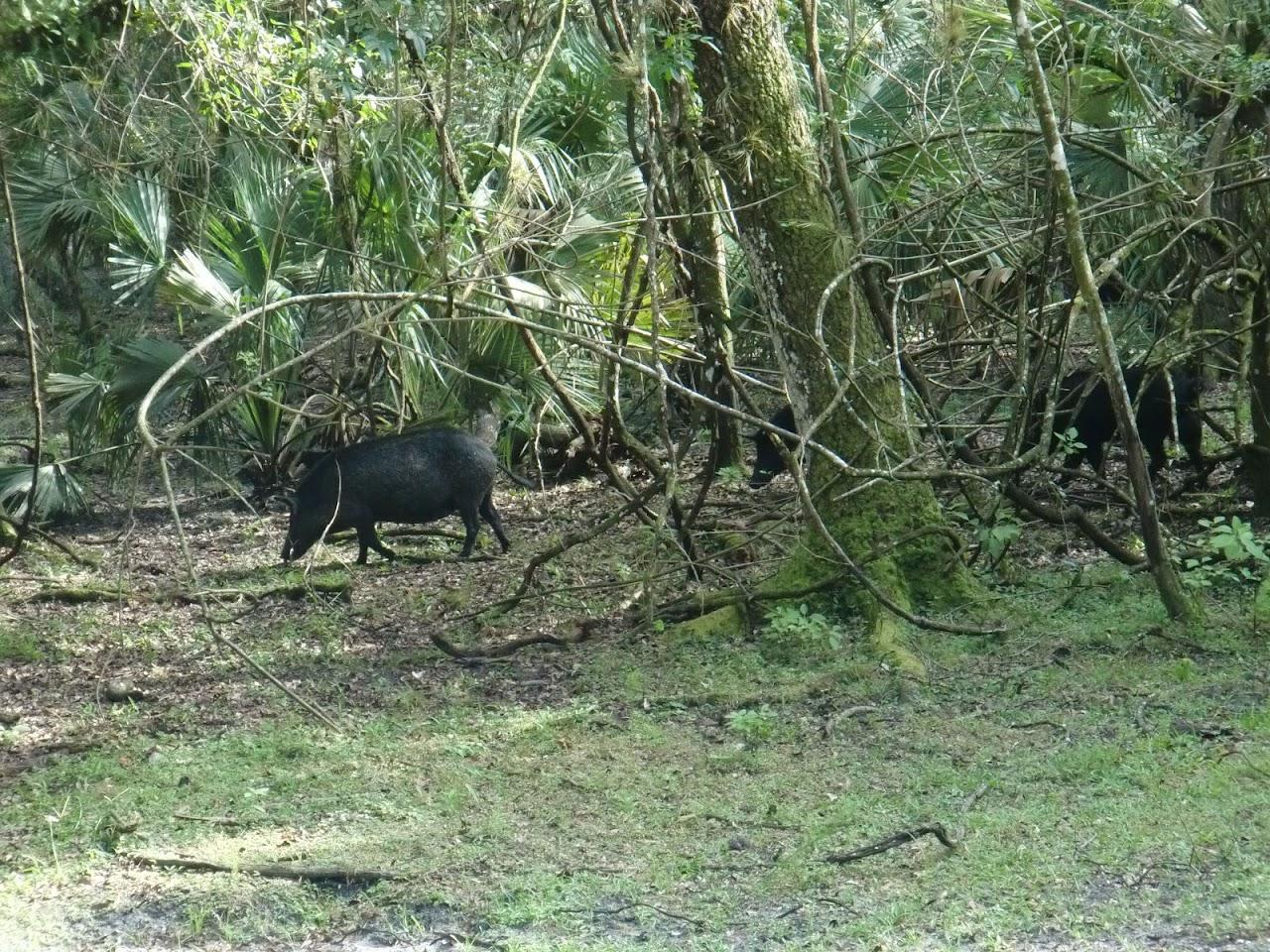 Seabase 2012 - 2012%7E07%7E25 64 Wild Pigs.jpg