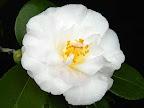 極淡い鴇色地 外弁の裏に桃紅色のぼかし 八重咲き 中輪 有香