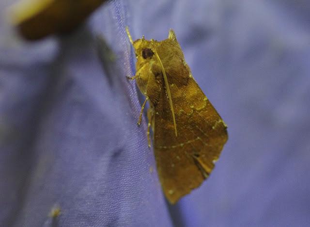 Notodontidae : Hapigia sp. (?).Santa María en Boyacá, 1120 m (Boyacá, Colombie), 2 novembre 2015. Photo : J.-M. Gayman