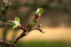 Buds on the Grandmother Apple Tree, April 17.