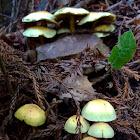 Honey Mushroom?