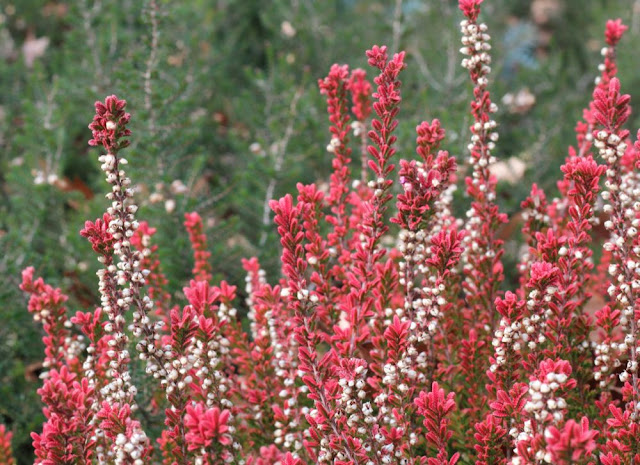 a red and white flowering ground-covering plant