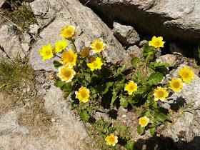 benoite des montagnes Geum montanum Rosacees 2.JPG