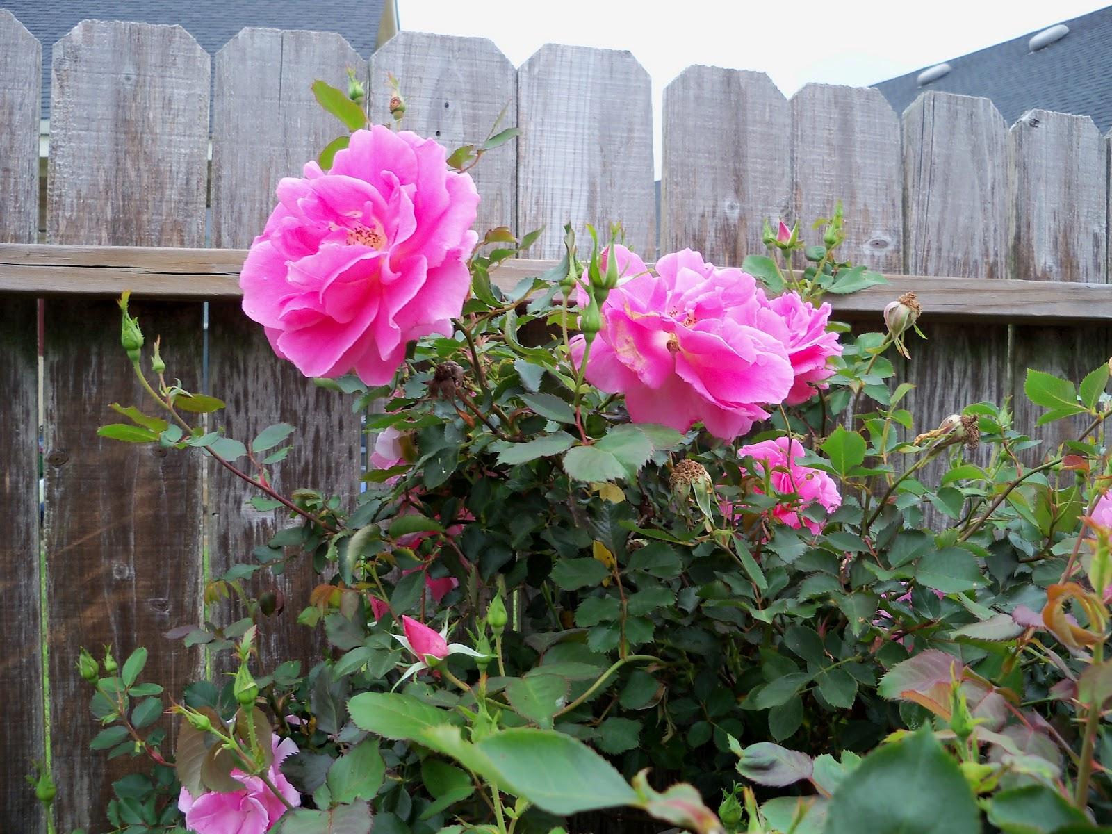 Gardening 2012 - 115_1353.JPG