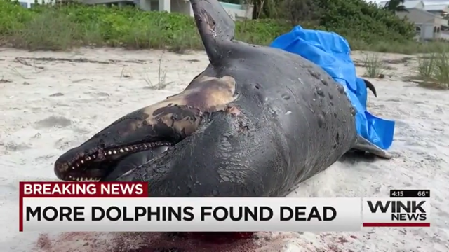 A dead dolphin on Bonita Beach, Florida, 27 November 2018. Red tide is the suspected killer of 37 dolphins in the previous week. Photo: WINK News