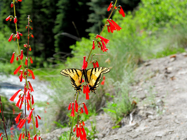 Two-Tailed Swallowtail on Eaton's Penstemon