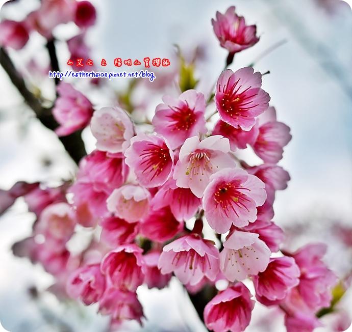 76 平菁街42巷櫻花樹