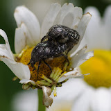 Cetoniidae : couple d'Oxythyrea funesta (PODA, 1761). Les Hautes-Lisières (Rouvres, 28), 16 juin 2012. Photo : J.-M. Gayman