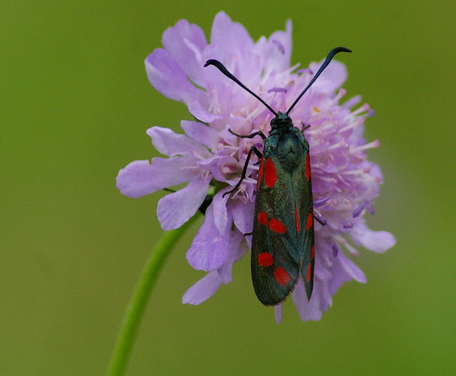 Zygaenidae : Zygaena filipendulae (LINNAEUS, 1758), butinant Scabiosa columbaria. Les Hautes-Lisières, 11 juillet 2009. Photo : J.-M. Gayman