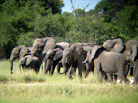 Elephant Herd - Botswana - Okavango Delta
