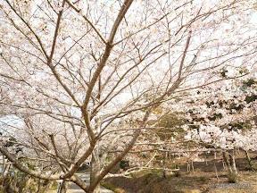 満開の時に来れたらなかなか見事な桜が見れたと思います。