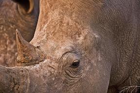 Rhino Male, Botswana