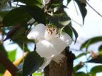 白色 一重咲き 極小輪 有香