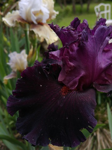 tall iris dark flower