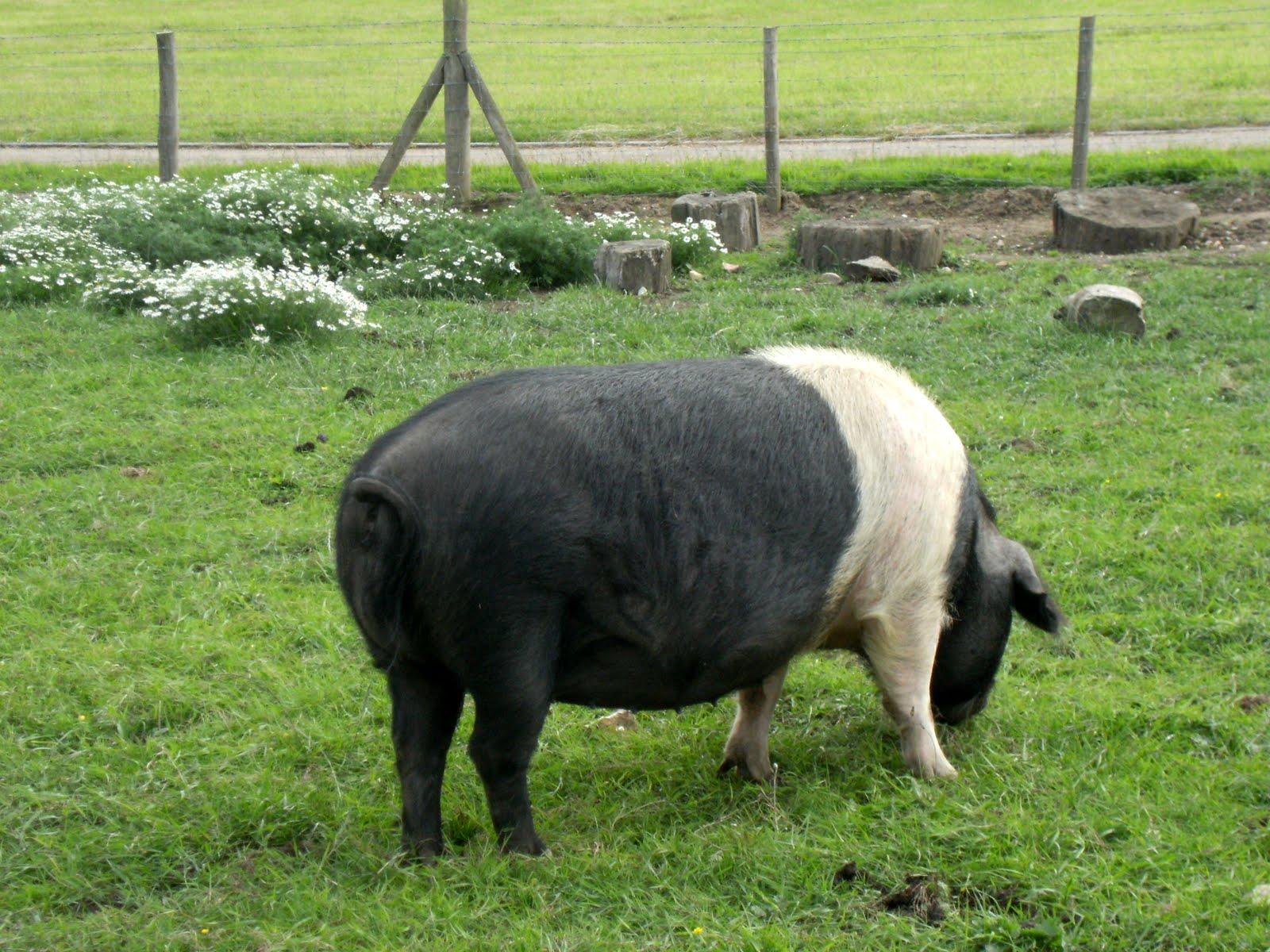 DSCF8780 Prize pig, Dogmersfield Park estate