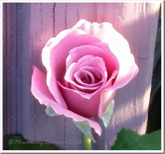 03-12-lav-rose