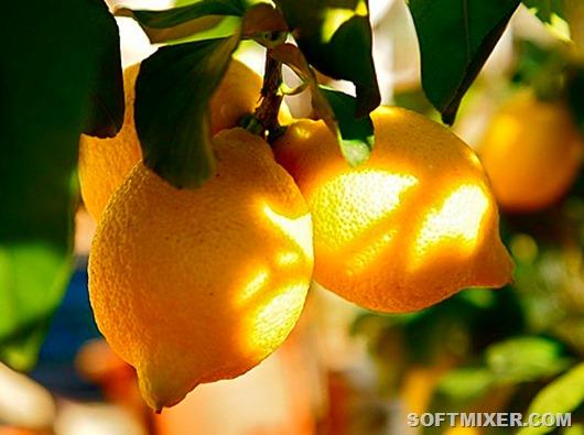plody-limona-foto