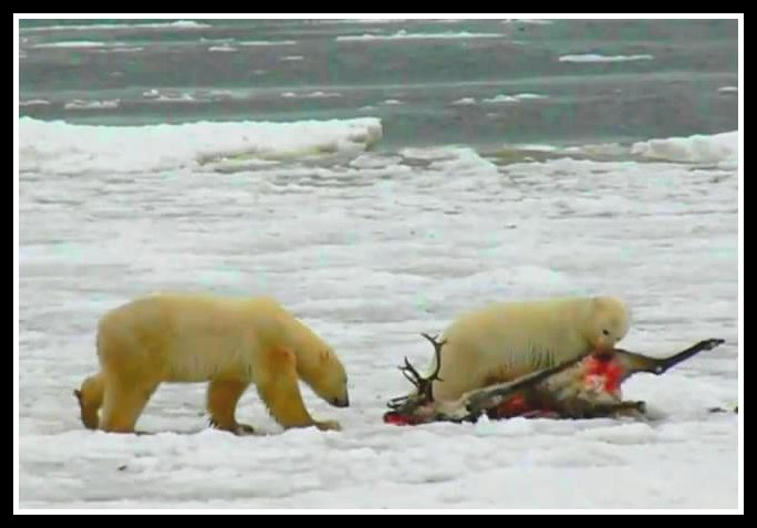 Urso pardo vs Urso polar Caribou+and+polar+bears
