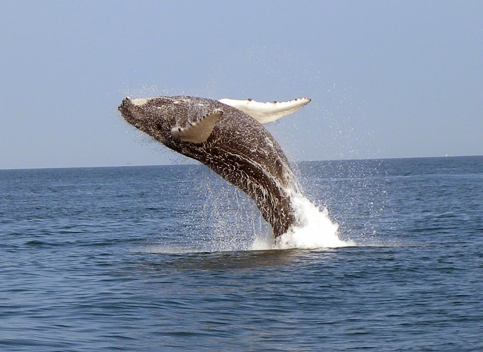 Humpback Whale, by Pacifico Adventures