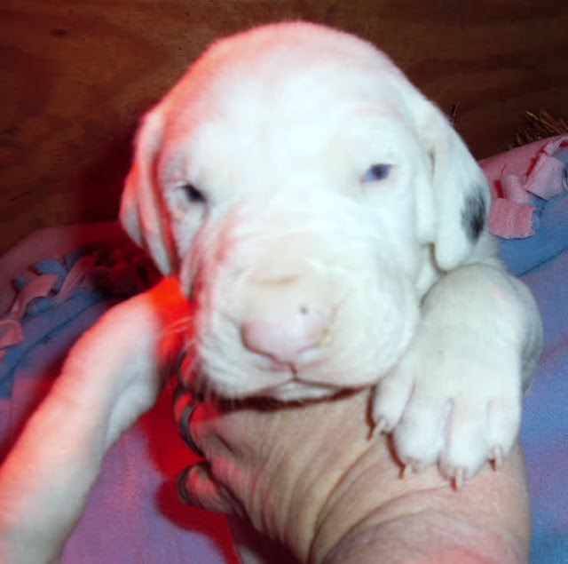 Harrigan's blue-eyed white male @ 3 weeks
