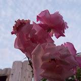 Gardening 2012 - 115_1278.JPG