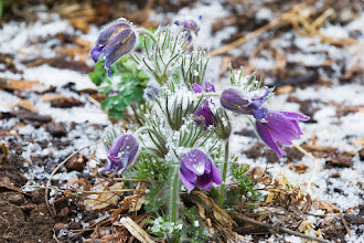 Photo: Pasque flower in April  04/08