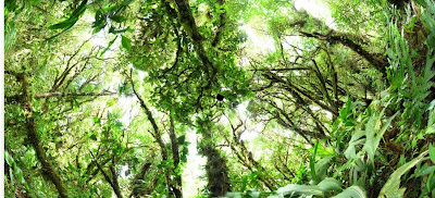 120218 - view of the Cacao canopy from GigaPan
