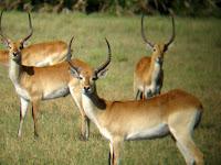 Red Lechwe - Okavango Delta