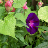 Gardening 2012 - 115_1638.JPG