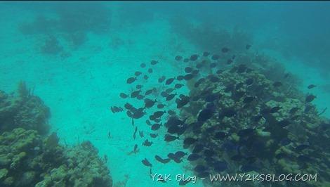 Pesci Chirurgo - Peter Island