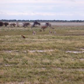 Hyena en Zebra's