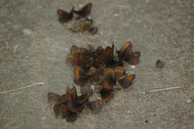 Rassemblement d'Erebia euryale (Esper, 1805) et, au premier plan, d'Erebia ligea (Linnaeus, 1758). Super Sauze (1720 m), 13 juillet 2010. Photo : J.-M. Gayman