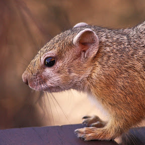 African Ground Squirrel, South Africa