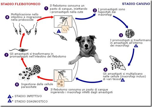ciclo leishmania