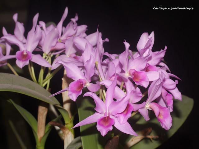 Cattleya x guatemalensis IMG_0580b%2520%2528Medium%2529