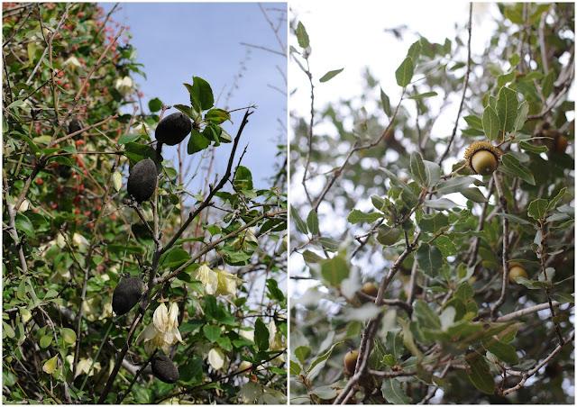 almonds and acorns