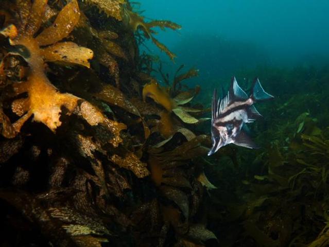 A long-snouted boarfish swims among the giant kelp that once spread 250km along Tasmania's coast. Photo: Mick Baron / Mercury