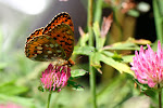Markperlemorsommerfugl, aglaja2.jpg