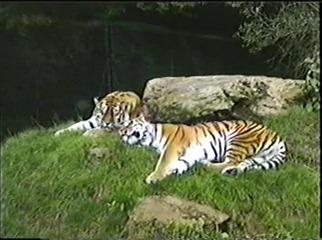 1998.09.09-007 tigres