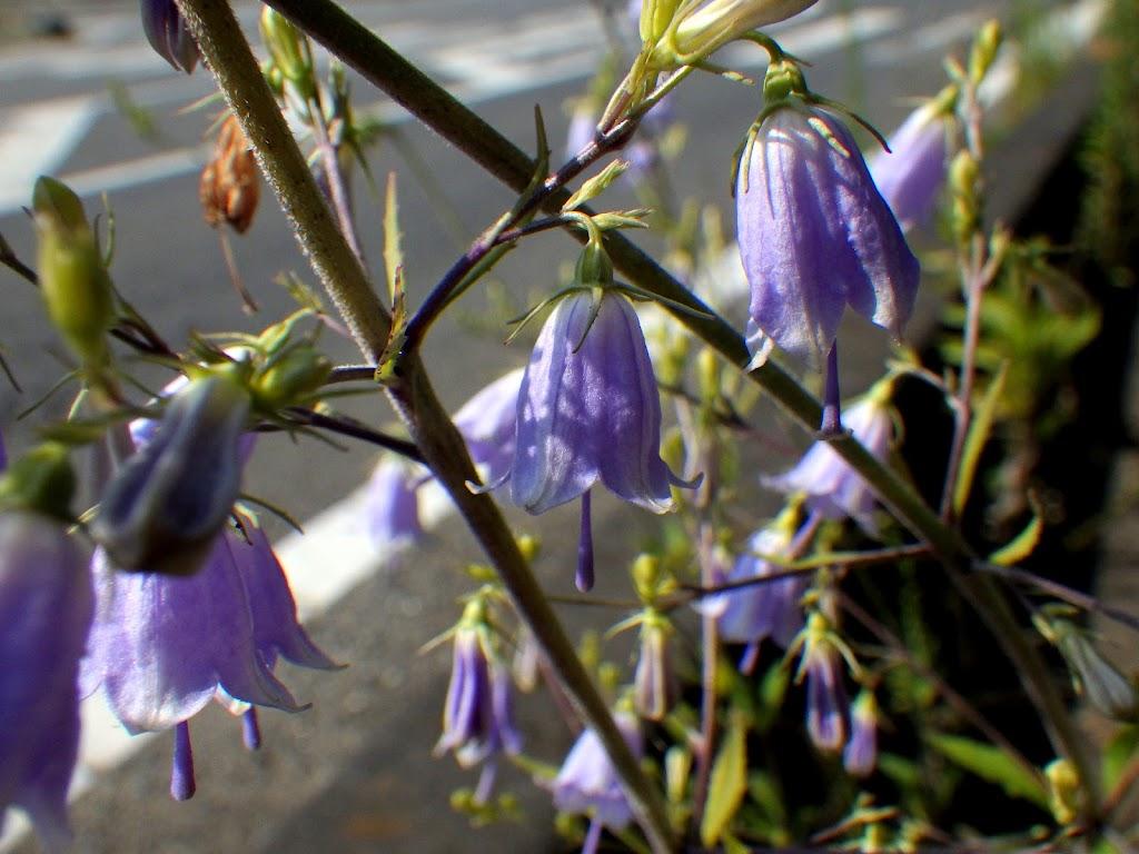 アスファルトに咲くツリガネニンジン2
