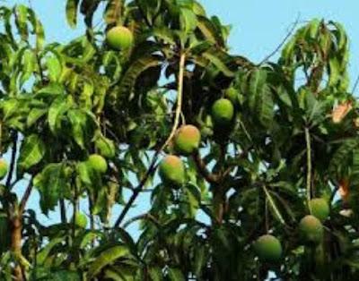 Mango botanical name